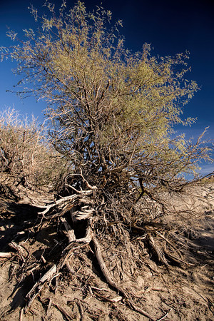 Death Valley Wind Blown Tree