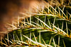 Golden Barrel Cactus Macro