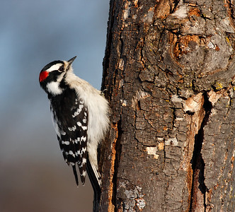 Downy Woodpecker (High Cliff State Park - Wisconsin)