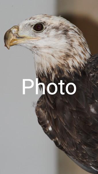 Buddy The Eagle