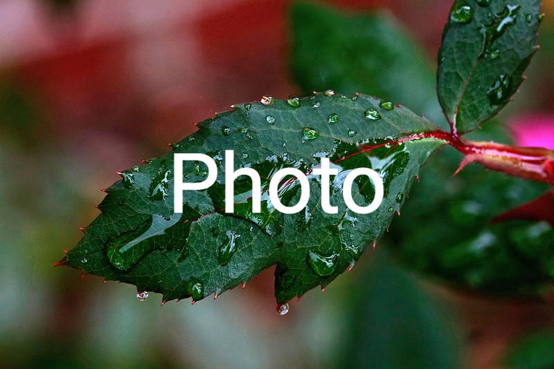 Rain On Rose Leaf