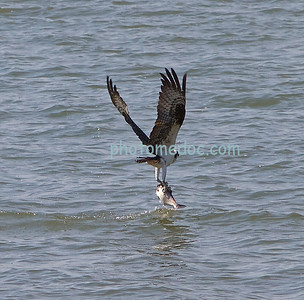 Osprey Bird Hunting