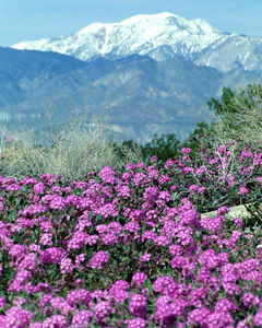 Palm springs stock photography scenics arthurcoleman desert wild flowers palm springs photography palm springs life magazin mightylinksfo