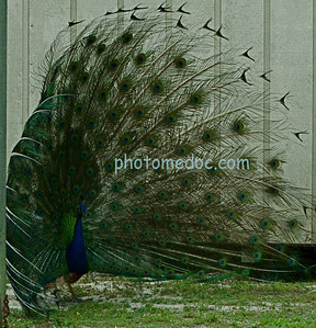 Peacock Flashing Feathers