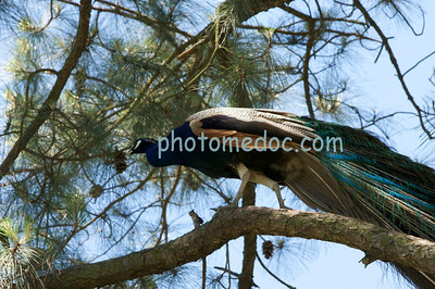 Peacock in Tree