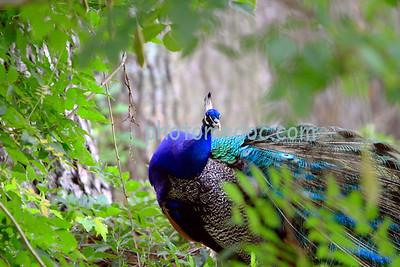 Peacock in brush