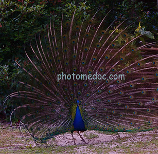 Peacock Showing Purple Feathers