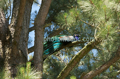 Peacock sitting on Tree branch