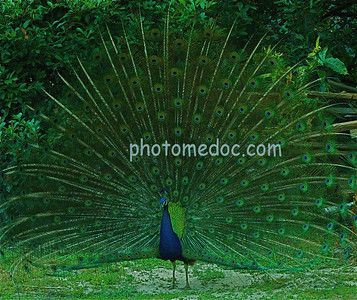 Peacock Flashing Green Feathers