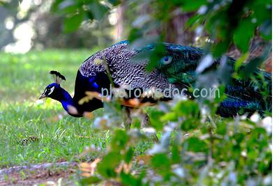Peacock eating grass