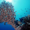 Grouper in the Red Sea