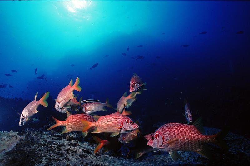 School of squirrelfishes