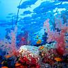 Soft coral alcyonacea