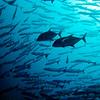 Jack fishes hunting and school of barracuda