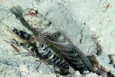 Associative behavior of goby and shrimp