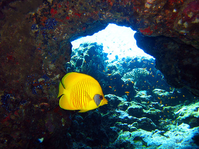 Blue-cheeked butterflyfish