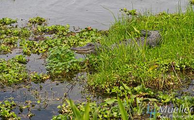 Gator in floatilla Louisiana