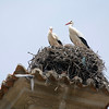 Couple of storks on their nest on the top of Santa Maria church, Brozas, Caceres, Spain