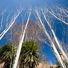 Bare trees in winter, Granada, Spain