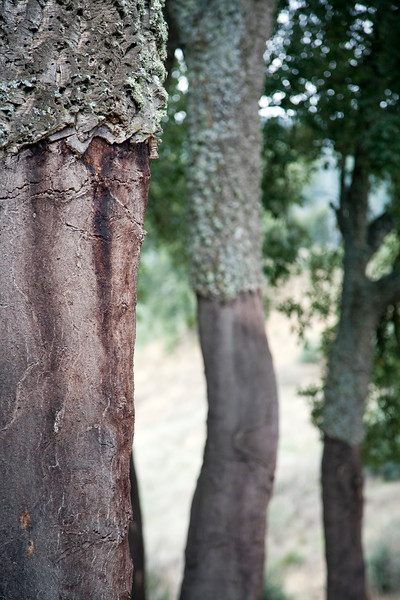 Cork oak, town of Casta–o del Robledo, province of Huelva, Andalusia, Spain