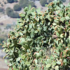 Prickly pear plant, town of Ronda, province of Malaga, Andalusia, Spain