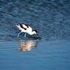 Avocet (Recurvirostra avosetta) on Doñana marshland. Town of Sanlucar de Barrameda, province of Cadiz, Andalusia, Spain.