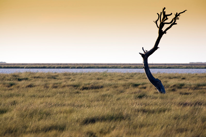 Dead tree, Doñana marshland, town of Sanlucar de Barrameda, province of Cadiz, Andalusia, Spain.