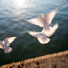 "White doves by the Guadalquivir river, Muelle de la Sal (""salt dock""), Seville, Andalusia, Spain"