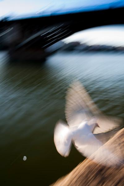"White dove by the Guadalquivir river and Triana bridge, Muelle de la Sal (""salt dock""), Seville, Andalusia, Spain"