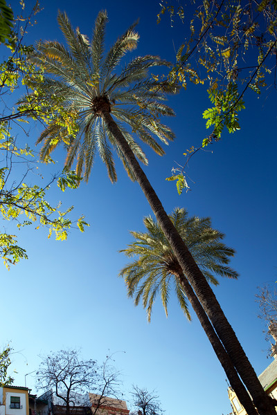 Palm trees, Seville, Spain