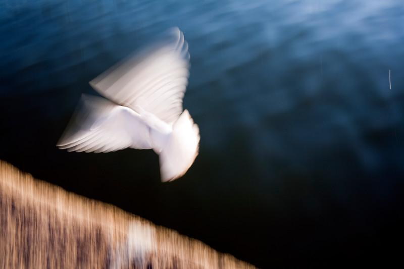 """White dove by the Guadalquivir river, Muelle de la Sal (""""salt dock""""), Seville, Andalusia, Spain"""
