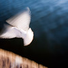 "White dove by the Guadalquivir river, Muelle de la Sal (""salt dock""), Seville, Andalusia, Spain"