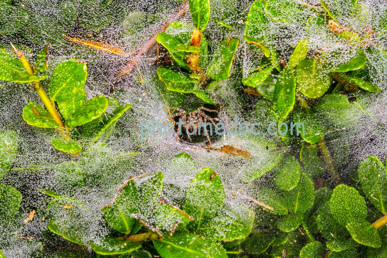 Spider and Spider Web Covered in Dew