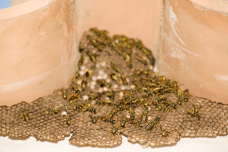 Adult yellow jacket wasps and larvae on a large nest under Arab tiles, Spain