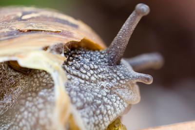 Land snail showing the tentacles, Spain