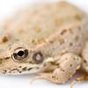 Iberian green frog belonging to the species Rana perezi