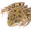 Iberian green frog belonging to the species Rana perezi