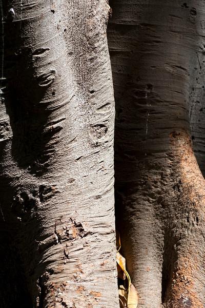 Fig tree trunk, Seville, Spain