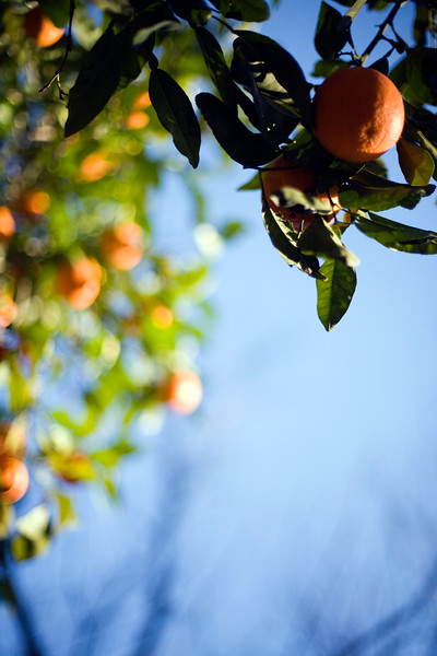 Oranges on the street, Seville, Spain