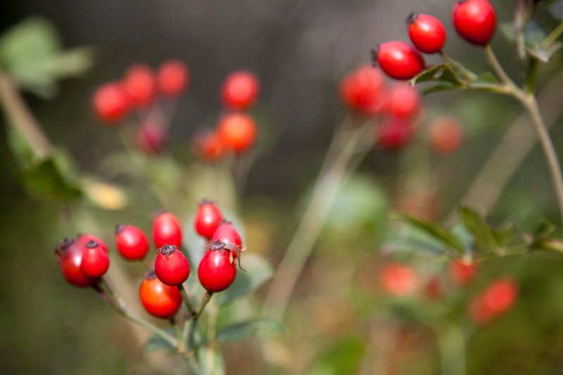 Red berries, town of Casta–o del Robledo, province of Huelva, Andalusia, Spain