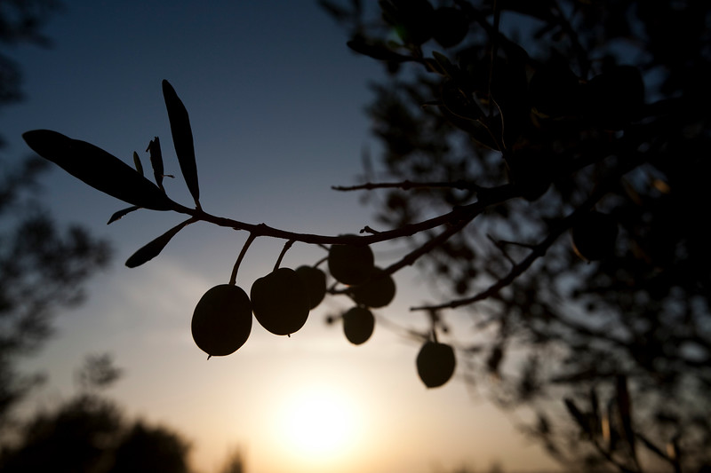 Olives on the tree, Faro, Portugal