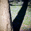 Jacaranda tree trunk and shadow, Seville, Spain