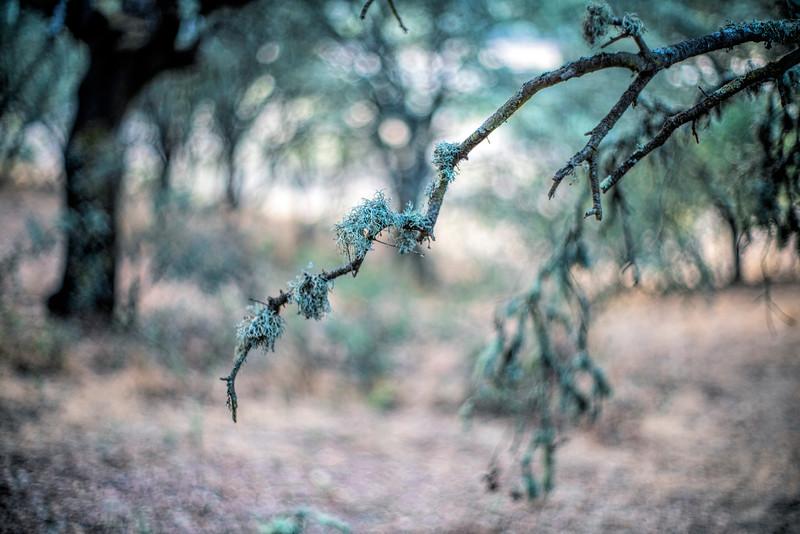 Moss on a holm oak branch, Spain