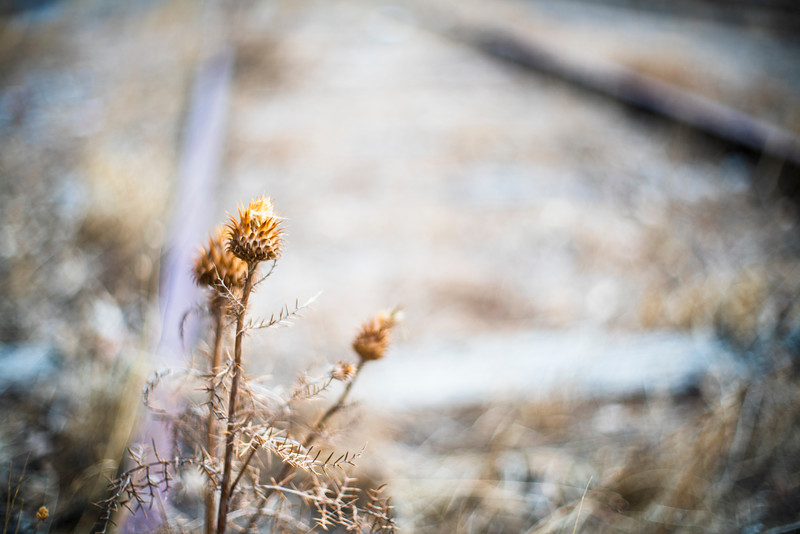 Thistle on an abandoned railroad, El Vacar, Spain.
