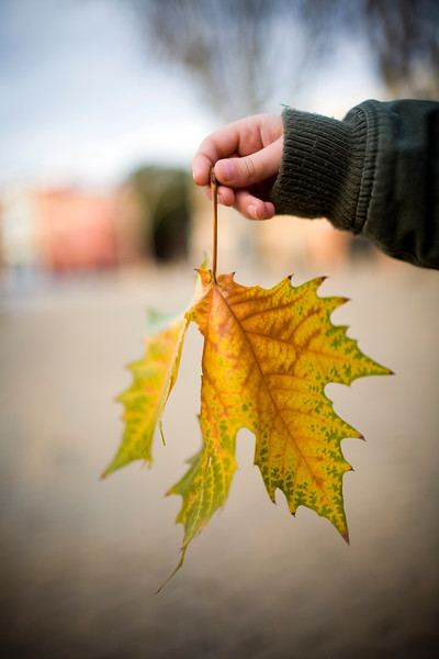 Child's hand holding a plane tree leaf, Seville, Spain