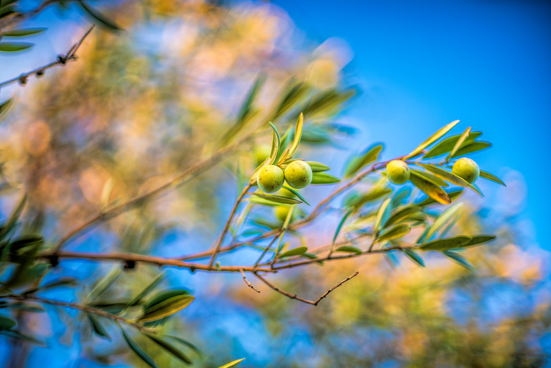 Manzanilla olives on the tree, Spain