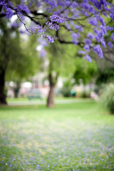 Jacaranda tree flowers, Seville, Spain