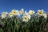 """""""White Daffodils"""""""