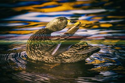 duck-1-2