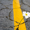 Fresh Flower growing out of the cracks of a road.